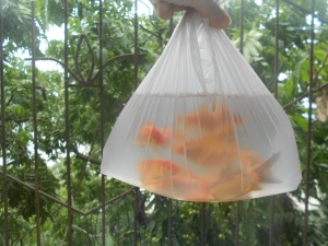 My purchase:  12 goldfish about to have a new home.