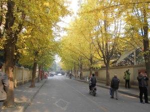 Our neighborhood ginkgo, awaiting the crowds to alight by the hundreds.
