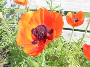The Poppy, from my mom's garden