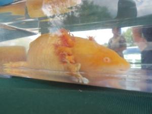 An albino water salamander
