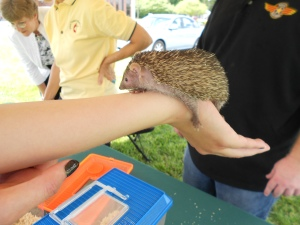 Of the hedgehog family, this little guy.